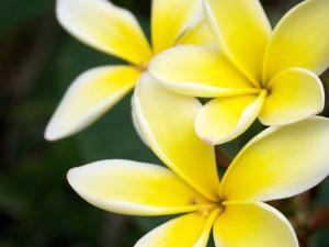 マウイの花